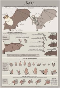 Bats: A brief visual reference for Chiroptera - Poster Bats A Brief Visual Reference by WingedSonar on Etsy, $20.00