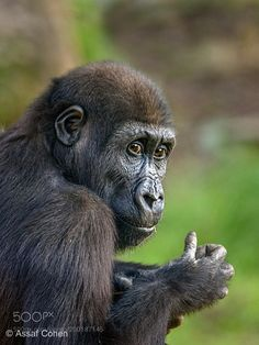 young gorilla by asco74 #animals #animal #pet #pets #animales #animallovers #photooftheday #amazing #picoftheday