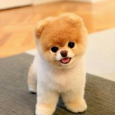 Meet Boo, the world& cutest dog. Meet Boo, the world& cutest dog. The post Meet Boo, the world& cutest dog. appeared first on Pink Unicorn. Cute Teacup Puppies, Cute Dogs And Puppies, Baby Dogs, Doggies, Teacup Dogs, Teacup Animals, Pet Dogs, Puppies Puppies, Cute Animals Puppies