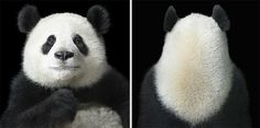 fot. Tim Flach/ Panda <3