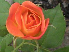 Coral Rose!