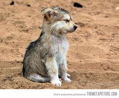 FUNNYWOLFPICTURES | Funny Wolf Pups