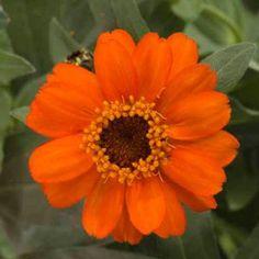 Profusion Fire Zinnia - Annual flower