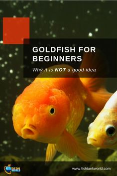 Goldfish is one of the most common fish novice Aquarists start with - but it is not the best choice for a beginner. Find out 7 reasons why and the basic goldfish care tips you need to know to make them live long. Goldfish Food, Oranda Goldfish, Goldfish Aquarium, Goldfish Tank, Tropical Freshwater Fish, Freshwater Aquarium Fish, Tropical Fish, Colorful Fish, Aquariums