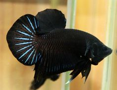 Black and Blue Butterfly Spade-Tail Betta (Siamese Fighting Fish, Betta Splendens)