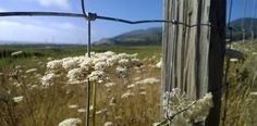 Queen Anne's Lace and Fence Post  Montara CA #photography #nofilter #naturephotography #westernlife #wildflower #flowerphotography Subscribe to smalllifedetails.com for a daily surprise picture in your email with no ads.