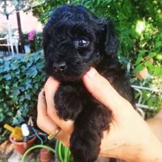 19 Best Cute Toy Poodles images in 2015 | Poodle, Cute toys