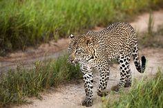Leopard auf der Pirsch - © LION SANDS PRIVATE GAME RESERVE | SÜDAFRIKA