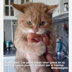 Esponjidato:Los gatos deben tener grasa en su dieta ya que no pueden producir por sí mismos.