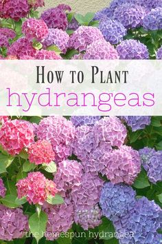 7 Tips on How to Grow Hydrangeas in Your Yard. Learn how to plant, feed, and water hydrangeas with succes 7 Tips on How to Grow Hydrangeas in Your Yard. Learn how to plant, feed, and water hydrangeas with success! Hydrangea Landscaping, Backyard Landscaping, Landscaping Ideas, Houston Landscaping, Fall Plants, Garden Plants, Fruit Garden, Shade Plants, House Plants