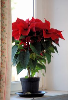 Our poinsettia in pride of place