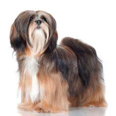 Algo que sem dúvida carateriza esta raça de cachorro é o seu pelo lindo! #lhasaapso #cachorros #cães #dogs #animais #raças