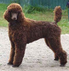 LOVE brown standard poodles
