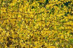 Aranyfa (Forsythia) aranyeső