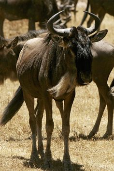 Although not endangered yet, wildebeests are in decline. Does saving a keystone species take precedence over conserving a threatened one? Keystone Species, Conservation, Habitats, Wildlife, Adventure, News, Nature, Animals, Naturaleza