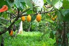 Cacao tree with pods. The cacao pods look like small melons, and the pulp inside contains 20 to 50 seeds or beans.