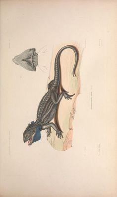 [Folio edition] - Voyage au pole sud et dans l'Océanie sur les corvettes l'Astrolabe et la Zélée : - Biodiversity Heritage Library