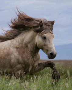 Icelandic Horses are featured in Tolt News
