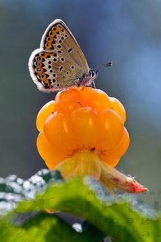 Butterfly on a beautiful Cloudberry Fruit Photography, Image Photography, Butterfly Pictures, Black And White Pictures, Something Beautiful, Pictures Images, Cool Photos, Illustration Art, Wildlife