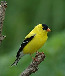 Golden Finch. They live in my nextdoor neighbor's trees. We love watching them at the feeders every summer.