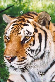 TIGERS Preservation Station, Myrtle Beach, South Carolina - see and interact with tigers, monkeys, elephants, and more! It's been called a 'once in a lifetime experience'!