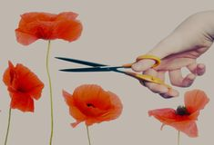 """The Tall Poppy Syndrome trope as used in popular culture. Named from the phrase """"the tall poppy gets cut down"""", an aphorism used in much of The Commonwealth … Tv Tropes, Popular Culture, Poppies, How To Become, Aussies, Friends Family, Entrepreneur, Rest, Success"""