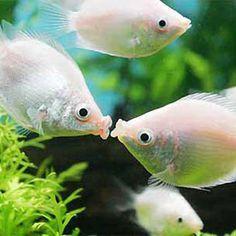 Kissing Gourami  ML £7.55 - passive fish