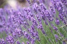 Often associated with the famous purple fields of Provence, Lavandula angustifol… - Modern Types Of Lavender Plants, Lavender Varieties, Lavender Seeds, Lavender Oil, Evergreen Garden, Evergreen Shrubs, Spanish Lavender, Mailbox Landscaping, Mailbox Garden