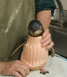 Wool garments save hundreds of penguins caught in oil spills http://dailym.ai/1jWzn8y #DailyMail