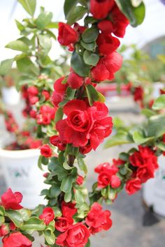 Proven Winners - Double Take Scarlet™ - Quince - Chaenomeles speciosa red plant details, information and resources. Cut Flowers, Spring Flowers, Orange Flowers, Planting Seeds, Planting Flowers, Chaenomeles, Virtual Flowers, Plant Zones, Red Plants