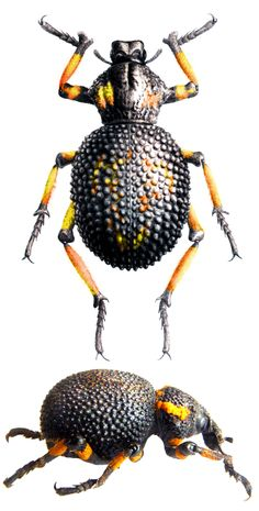 Brachycerus congestus