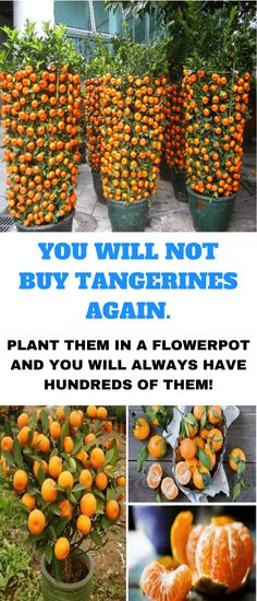 how to grow tangerines from seeds – Organic Gardening The tangerine is undoubtedly one of the tastiest citric fruits and that's why many people like it so much. It possesses an exquisite flavor and an amazing aroma that makes it irresistible. This cit… Hydroponic Gardening, Hydroponics, Organic Gardening, Container Gardening, Gardening Tips, Aquaponics System, Vegetable Gardening, Indoor Gardening, Urban Gardening