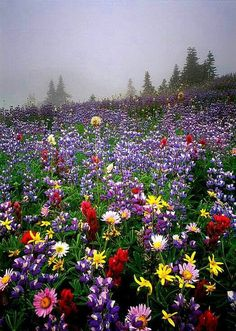 Wildflower Mist Photo Picture Print Mount Rainier National Park Washington The post Wildflower Mist Photo Picture Print appeared first on Easy flowers. Beautiful World, Beautiful Gardens, Wild Flowers, Beautiful Flowers, Mount Rainier National Park, Amazing Nature, Belle Photo, Beautiful Landscapes, Mother Nature