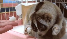 Oh No! Cute Loris Only Has 2 Hands.  #cute #loris