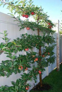 Spalierobst anbauen Apfelbaum hoch Gartenzaun