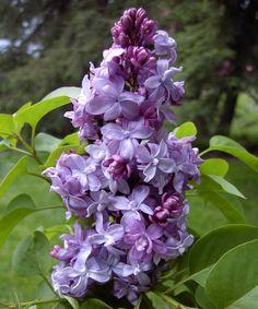 Photo #8869 | Syringa vulgaris 'Nadezhda' | plant lust