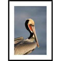 "Global Gallery 'Brown Pelican Adult Portrait' Framed Photographic Print Size: 36"" H x 26"" W x 1.5"" D"