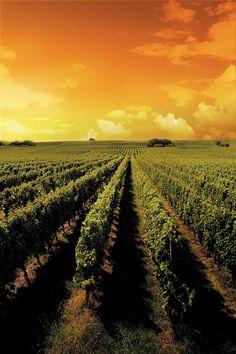 "Vineyards of ""Tikves"" Winery, Kavadarci, Macedonia"