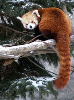 Red Panda by Tricia Griffith on Flickr.