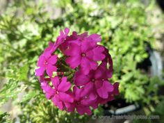 Verbena Flower Close Up, Verbena, Flowers, Plants, Pink, Plant, Royal Icing Flowers, Pink Hair, Flower