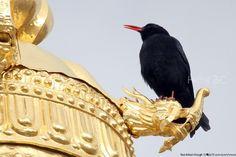a451 20121231 Ganden Sumtseling Monastery Shangri-La Birding\01 Birds\071# Red-billed Chough 红嘴山鸦 นกกาภูเขาปากแดง