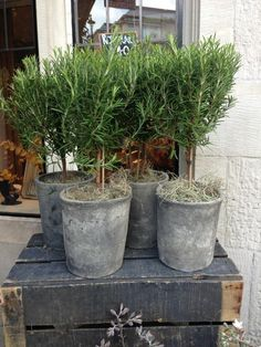 Standard Rosemary Bushes at Liberty in London Image taken by Paul Bangay April 2013