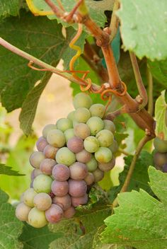 The Pinot grape is something of a chameleon and not just because of the variety of colors it can be found in.  Pinot Gris, a mutation of the Pinot Noir grape, can be found around the world and in a number of different expressions from crisp to velvety and from dry to sweet.