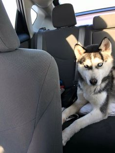 #Founddog 1-15-15 #Frankfort #IN #SiberianHusky male MOTHERWOLF GREY CLINTON COUNTY LOST AND FOUND PETS https://www.facebook.com/huskydogslostfound/posts/905183642846316