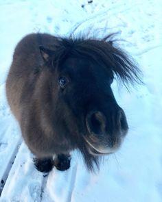 "#ThePom-PomS🐎 on Instagram: ""N.💙 #shetlandpony #shetlander #horse #rescuedpets #ponies #poniesofinstagram #minihorse #nature #horses #shetty #shettypower #shetlander…"" Красивые Лошади, Спасение Животных, Шетландские Пони, Пони, Мини Лошади, Природа, Животные"