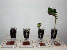 Nous avons les 4 étapes des cartes.Germination de la graine de haricot lesateliersdecelesteoverblog