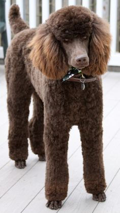 Beautiful Ben Standard Poodle