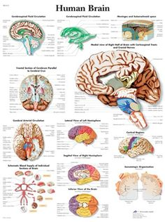 BEHAVIOR DRUGS FREE PSYCHOPHARMACOLOGY BRAIN THE AND