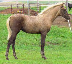 CFR Country Lace 2015 Palomino Morgan Filly www.CoyoteFlatRanch.com Saskatchewan Canada, Morgan Horse, Palomino, Dressage, Ranch, Horses, Flat, Country, Animals
