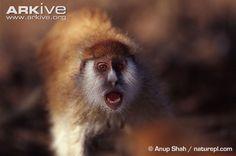 Patas monkey in defense